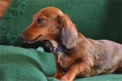 Rosie Lee is a red sable miniature dachshund.  AKC registered and CKC registered.