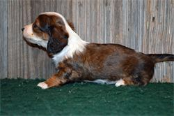 Diamond W Dachshunds puppies - Chocolate and tan piebald - long hair miniature dachshund - ACK & CKC registered