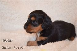 Diamond W Dachshunds puppies  - Miniature dachshund - Black and tan - Gabby and Thor - 2014