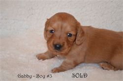 Diamond W Dachshunds puppies - Miniature dachshund - Dilute red - Gabby and Thor - 2014
