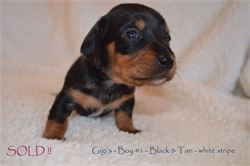 Gigi's Boy #2 - SOLD!!   Black & Tan smooth hair miniature dachshund, available for AKC & CKC registration