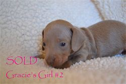 GRACIE'S GIRL 2 Isabella and Tan smooth hair miniature dachshund, available for AKC & CKC registration