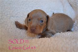 Diamond W Dachshunds puppies - Isabella and tan smooth hair miniature dachshund - AKC & CKC Registered