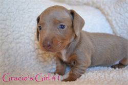 GRACIE GIRL 1 copy use, Gigi's Boy #2 - SOLD!!   Red piebald miniature dachshund, available for AKC & CKC registration