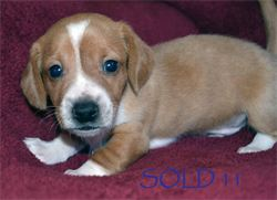 Diamond W Dachshunds puppies - Red Piebald smooth hair miniature dachshund - AKC & CKC Registered