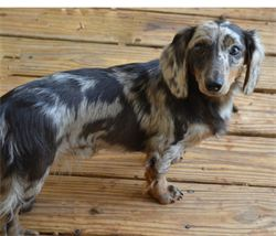 Miss Molly is our gorgeous Black and Silver dapple long hair Miniature Dachshund.  AKC and CKC registered, her litters will be in high demand.