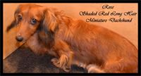 Rose is our red smooth hair miniature dachshund, registered AKC & CKC.