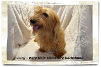 Lucy is our Red long Wire hair miniature dachshund, registered AKC & CKC.