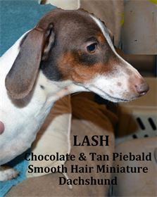 Lash - Male - Chocolate & Tan Piebald - Smooth Hair Miniature Dachshund - AKC & CKC Registered