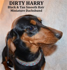 Dirty Harry - Male - Black & Tan Smooth Hair Miniature Dachshund - AKC & CKC Registered