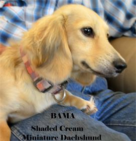 Bama - Female - Shaded Cream Long Hair Miniature Dachshund - AKC & CKC Registered