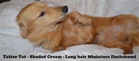 Tater Tot - Male - Shaded Cream - Long Hair - Miniature Dachshund - AKC & CKC Registered