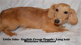 Proud Poppa Little Jake - English Cream Long Hair Miniature Dachshund - AKC & CKC Registered