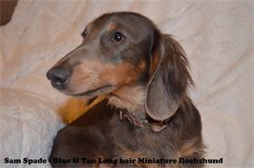 Sam Spade - Male - Blue & Tan Long hair - Miniature Dachshund - AKC & CKC Registered