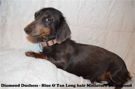 Diamond Duchess - Blue & Tan Long hair - Miniature Dachshund -  AKC & CKC Registered