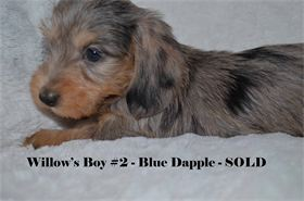 Here at Diamond W, we are dedicated to breeding the very best Miniature Dachshunds in the South. AKC registered and CKC registered