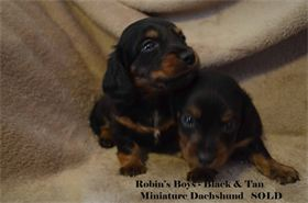 : SOLD !  Black & Tan long hair miniature dachshund, available for AKC & CKC registration