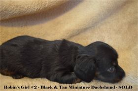 : SOLD !  Chocolate & Tan long hair miniature dachshund, available for AKC & CKC registration
