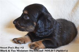 Diamond W Dachshund's Miniature Dachshunds - Available for AKC & CKC Registration