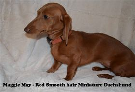 Maggie May - Red - Smooth hair - Miniature Dachshund - AKC & CKC Registered