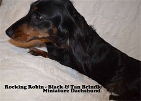 Rockin Robin - Black & Tan Brindle - long hair - AKC & CKC Registered