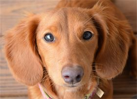 Sweet Little Glory is our beautiful Red long hair Miniature Dachshund.  She is an AKC and CKC registered miniature dachshund.