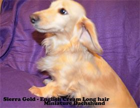 Sierra Gold - English Cream - Long hair - AKC & CKC Registered