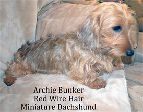Archie Bunker - Male - Red  Long Wire Hair Miniature Dachshund - AKC & CKC Registered