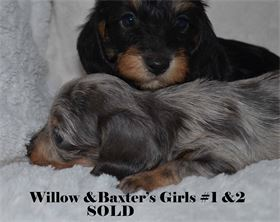 WILLOW'S GIRLS - Diamond W Dachshund's Miniature Dachshunds - Available for AKC & CKC Registration
