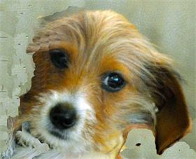 Uma - Female - Red Piebald Wire Haired Miniature Dachshund - AKC & CKC Registered