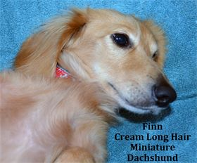 Finn -  Male - Cream Long Hair - Miniature Dachshund - AKC & CKC Registered