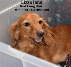 Lil' Liza Jane - Female - Dilute Red Long Hair - Miniature Dachshund - AKC & CKC Registered