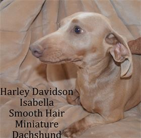 Harley Davidson  - Male -  Isabella - Smooth Hair - Miniature Dachshund - AKC & CKC Registered